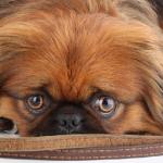 petit chien toilettage la garde